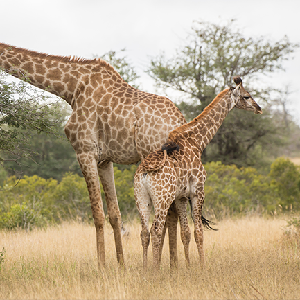 Giraffes gathered